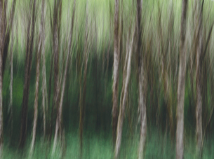 Blurred motion. A forest of Alder trees in Olympic National Parkの写真素材 [FYI02250921]