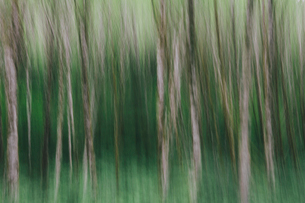 Blurred motion. A forest of Alder trees in Olympic National Parkの写真素材 [FYI02251024]