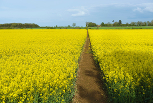 A narrow footpath in a field of ripe oil seed rape crop in full flower.の写真素材 [FYI02251181]