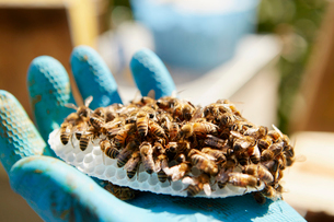 A hand holding a small plastic honeycomb form covered in honey bees.の写真素材 [FYI02251338]