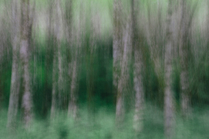 Blurred motion. A forest of Alder trees in Olympic National Parkの写真素材 [FYI02251399]