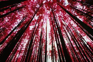The forest canopy and evergreen trees viewed from the ground at Cascades national park, Washington.の写真素材 [FYI02251470]