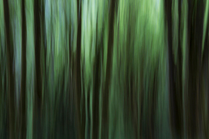 Blurred motion. A forest of Alder trees in Olympic National Parkの写真素材 [FYI02251505]