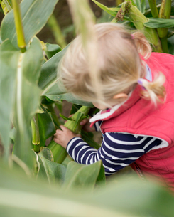 A young girl child reaching into corn stalks to pick the sweetcorn cobs.の写真素材 [FYI02251507]