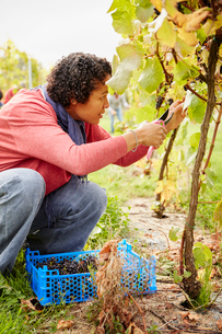 A grape picker leaning down and selecting bunches of grapes for harvest.の写真素材 [FYI02251613]