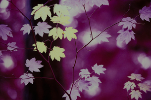 Autumn leaves on branches, infrared shot, leaf shapes and variety of colour.の写真素材 [FYI02251809]