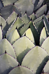 Close up of succulent yucca plant leaves.の写真素材 [FYI02251813]
