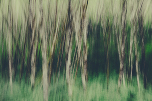 Blurred motion. A forest of Alder trees in Olympic National Parkの写真素材 [FYI02252166]
