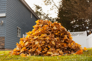 A huge pile of raked fallen autumn leaves in a yard.の写真素材 [FYI02252248]