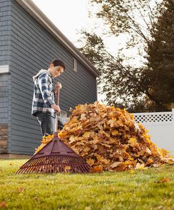 A boy raking in a huge pile of autumn leaves.の写真素材 [FYI02252320]