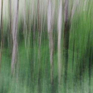 Blurred motion. A forest of Alder trees in Olympic National Parkの写真素材 [FYI02252370]