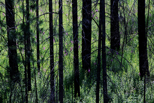 A forest with green shoots and growth after a forest fire.の写真素材 [FYI02252400]