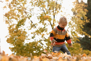 A young boy playing in a huge pile of raked autumn leaves.の写真素材 [FYI02252456]