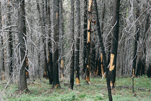 Recovering forest after extensive fire damage, near Wenatchee National Forest in Washington state.の写真素材 [FYI02252528]