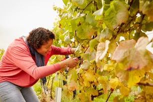 A grape picker leaning down and selecting bunches of grapes for harvest.の写真素材 [FYI02252542]