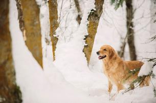 A golden retriever dog in a snowy woodland.の写真素材 [FYI02252793]