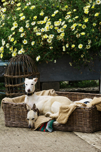 Two greyhound dogs in a large wicker dogbed, on a garden path, beside a wicker skep and flowering plの写真素材 [FYI02253066]