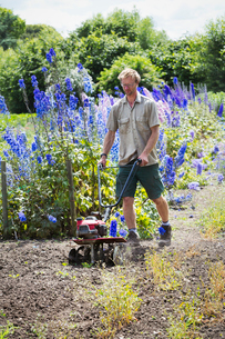 A man using a rotivator on soil in flowers beds in an organic garden.の写真素材 [FYI02253113]