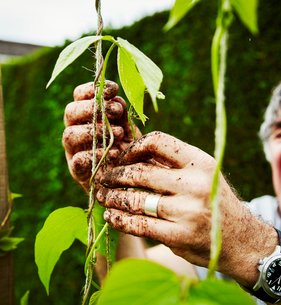 Close up of muddy hands. A gardener tying up runner bean plants to support.の写真素材 [FYI02253196]