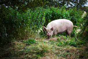 A free range environment for animals, a pig foraging in a pastureの写真素材 [FYI02253246]