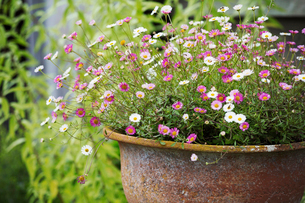 A rusty iron bowl of pink and white summer flowers.の写真素材 [FYI02253316]