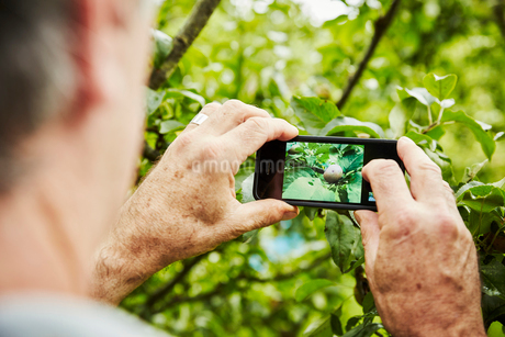 A gardener working in a vegetable plot in a back garden. Taking a photograph with a smart phone of aの写真素材 [FYI02253341]