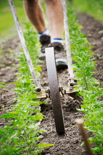 A man using a wheel hoe to hoe between rows of small flower plants in a garden.の写真素材 [FYI02253360]