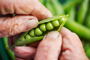 A man opening a peapod to see the fresh peas growing inside itの写真素材 [FYI02253465]