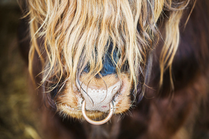 Close up of a long haired bull with a nose ring.の写真素材 [FYI02253497]