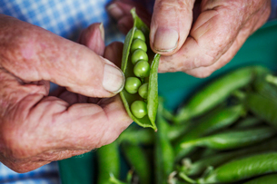 A man opening a peapod to see the fresh peas growing inside itの写真素材 [FYI02253585]