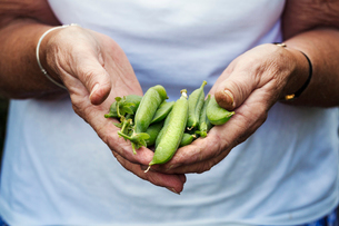A person holding a handful of fresh picked garden pea pods.の写真素材 [FYI02253598]