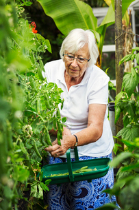 A woman picking pea pods from a green pea plant in a garden.の写真素材 [FYI02253821]