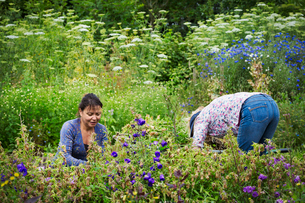 Two women working in a flowerbed, cutting plants.の写真素材 [FYI02253837]