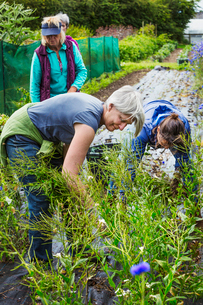 Three mature women working in the flowerbeds in an organic flower garden.の写真素材 [FYI02253840]
