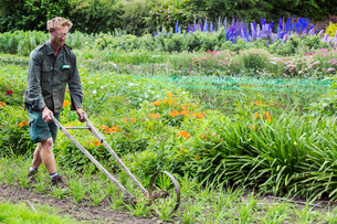 A man using a wheel hoe to hoe between rows of small flower plants in a garden.の写真素材 [FYI02254022]