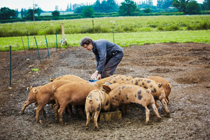 A woman filling a feeding trough for a group of pigs in a muddy field.の写真素材 [FYI02254068]