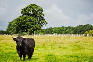 Black Highland cattle in grassland, a farming landscape.の写真素材 [FYI02254219]