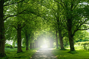 An avenue of trees in summer leaf foliage, and sun shining.の写真素材 [FYI02254465]