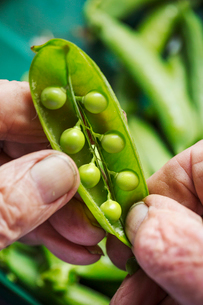 A man opening a peapod to see the fresh peas growing inside itの写真素材 [FYI02254471]