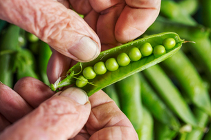A man opening a peapod to see the fresh peas growing inside itの写真素材 [FYI02254472]