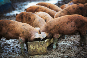 A group of pigs eating from a trough.の写真素材 [FYI02254592]