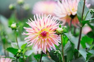 Pink dahlia flower head.の写真素材 [FYI02254604]
