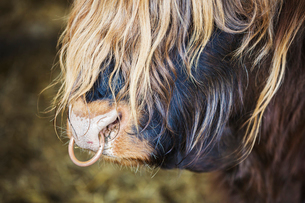 Close up of a long haired bull with a nose ring.の写真素材 [FYI02254609]
