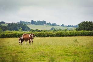 English Longhorn cattle in a field in England.の写真素材 [FYI02254612]