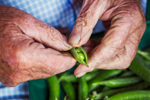 A man opening a peapod to see the fresh peas growing inside itの写真素材 [FYI02254751]