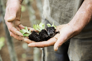 A person holding seedlings with developing root systems in plugs, ready for transplanting.の写真素材 [FYI02254918]