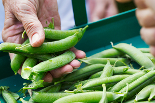A person holding a handful of fresh picked garden pea pods.の写真素材 [FYI02254982]