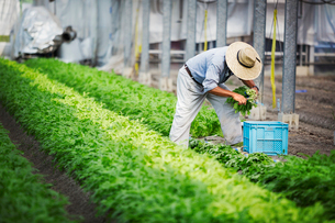 A man working in a greenhouse harvesting a commercial food crop, the mizuna vegetable plant.の写真素材 [FYI02255090]