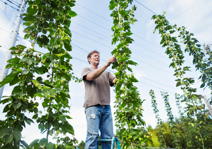 Man standing outdoors, picking hops from a tall flowering vine with green leaves and cone shaped floの写真素材 [FYI02255092]
