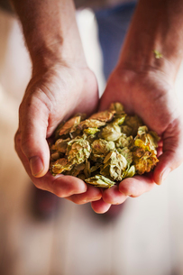 Close up of human hands holding dried hops. Brewing ingredients.の写真素材 [FYI02255103]